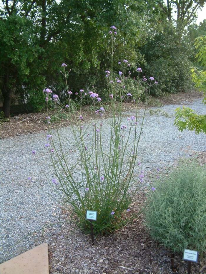 Plant photo of: Verbena bonariensis