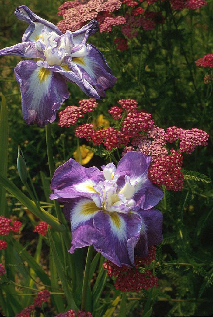 Plant photo of: Iris ensata 'Marbled Lavender'