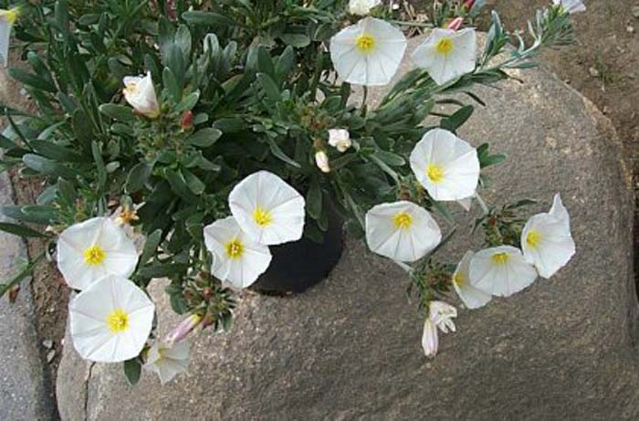 Plant photo of: Convolvulus cneorum
