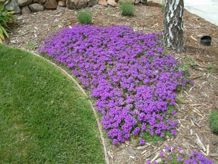 Plant photo of: Verbena peruviana 'Homestead Purple'
