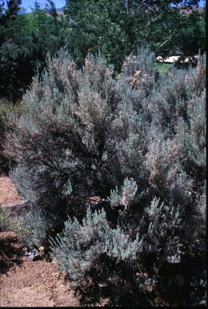 Plant photo of: Artemisia tridentata