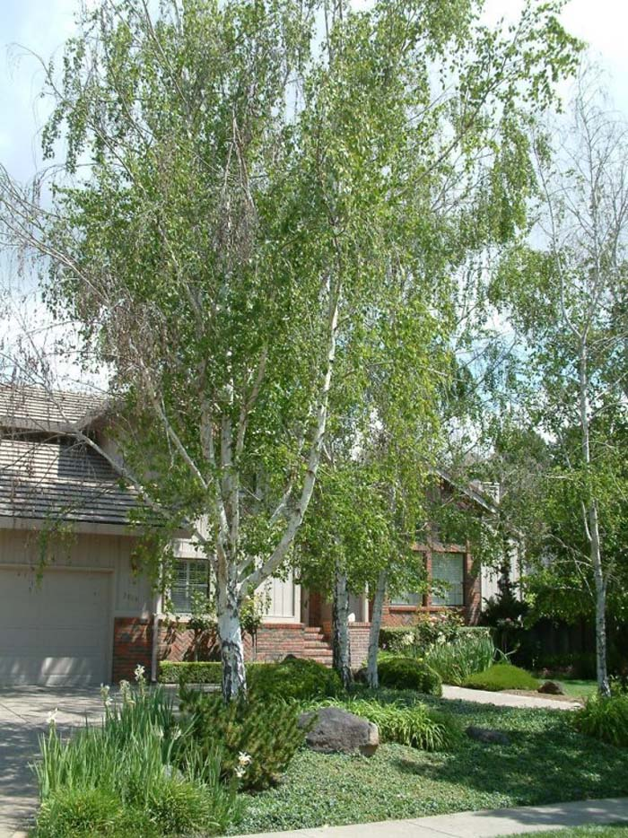 Plant photo of: Betula pendula