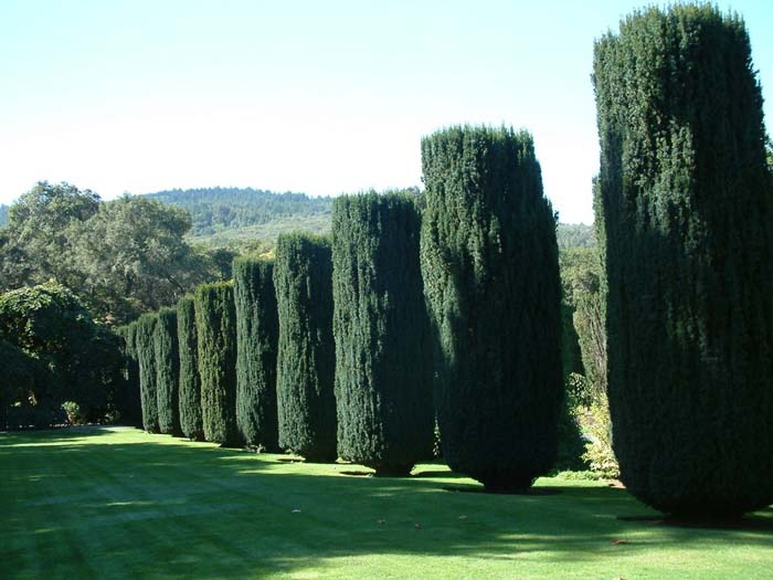 Plant photo of: Taxus baccata 'Fastigiata'