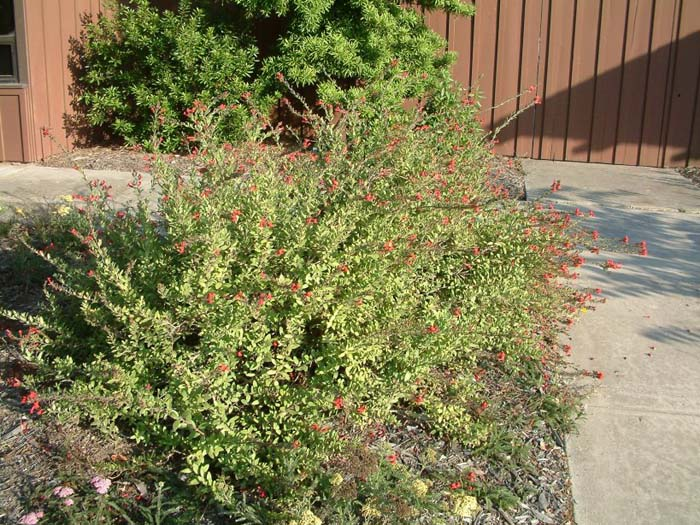 Plant photo of: Galvezia speciosa