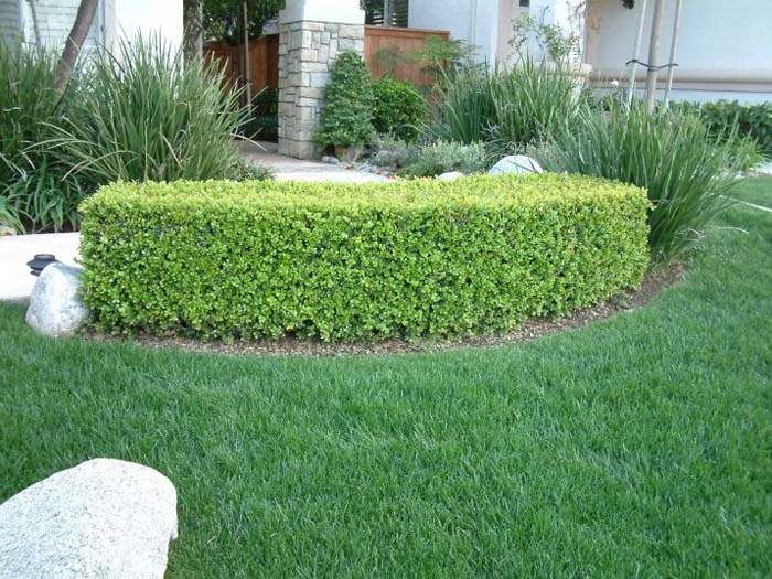 Plant photo of: Buxus microphylla japonica