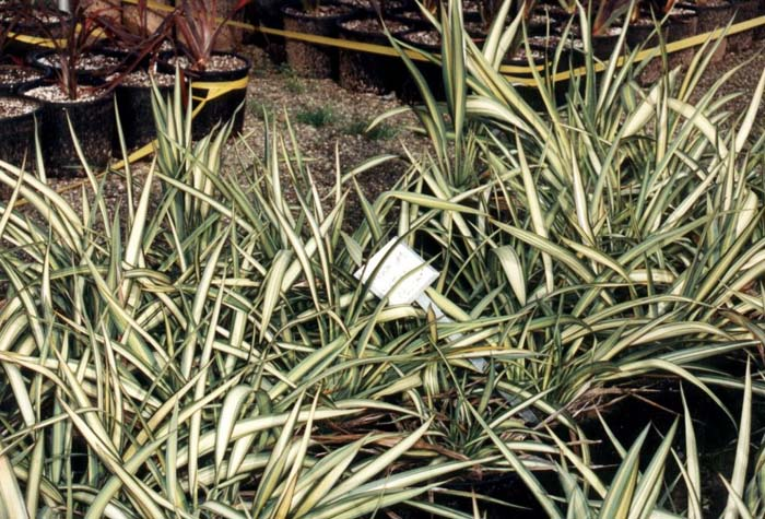Plant photo of: Phormium cookianum 'Cream Delight'