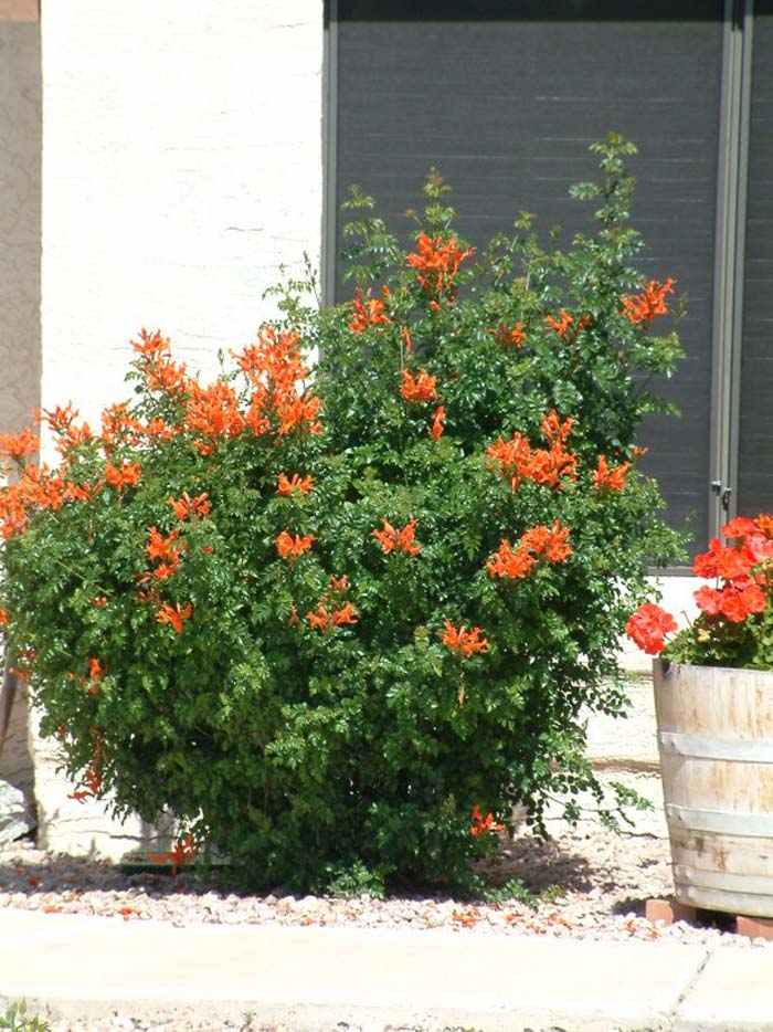 Plant photo of: Tecoma capensis