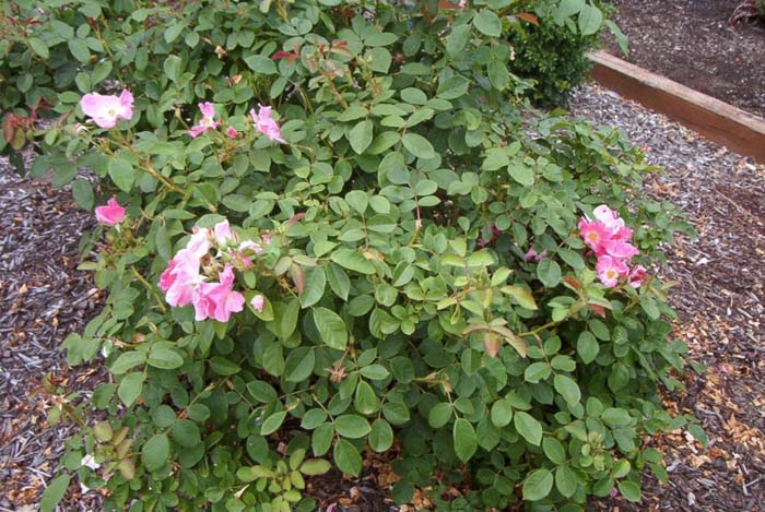 Plant photo of: Rosa Shrub varieties