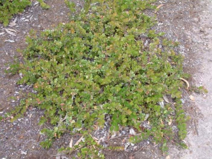 Plant photo of: Arctostaphylos edmundsi 'Carmel Sur'