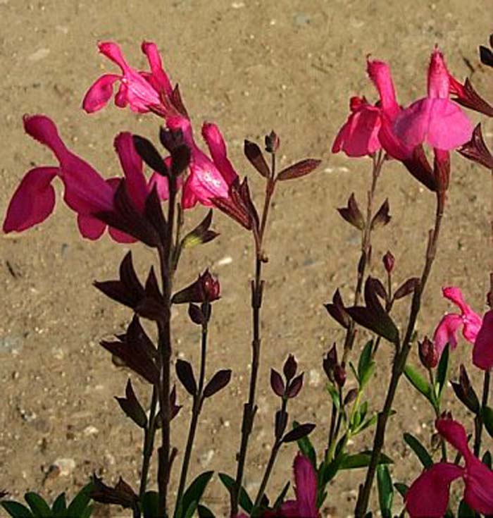 Plant photo of: Salvia greggii