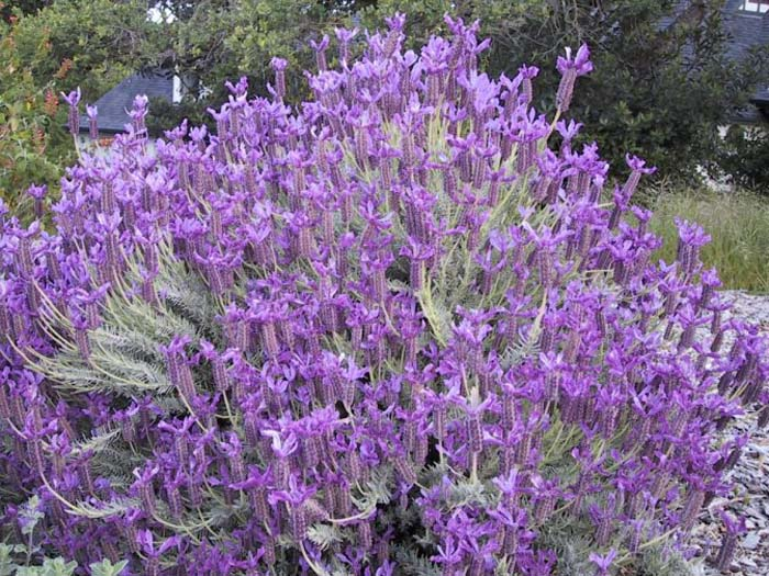 Plant photo of: Lavandula stoechas