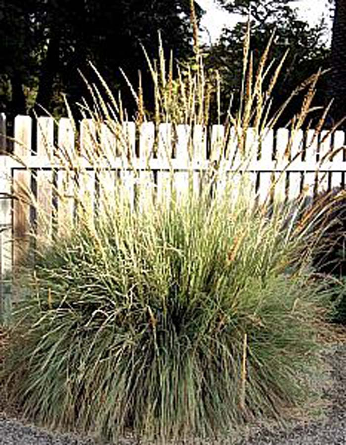 Plant photo of: Muhlenbergia lindheimer