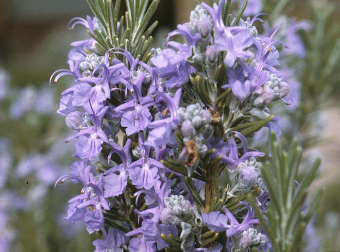 Plant photo of: Rosmarinus officinalis 'Tuscan Blue'