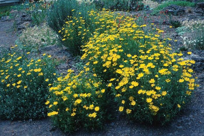 Plant photo of: Coreopsis verticillata 'Golden Shower'