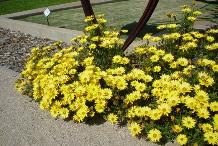 Plant photo of: Arctotis hybrids