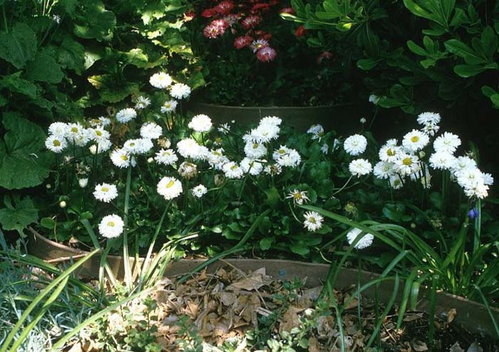 Plant photo of: Bellis perennis