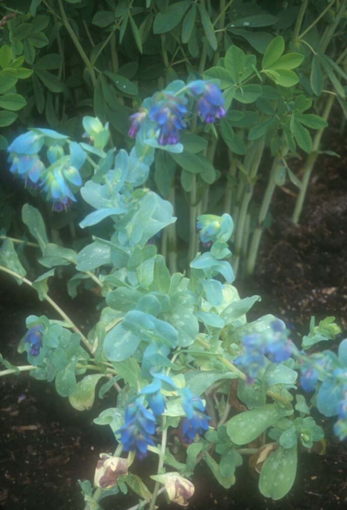 Plant photo of: Cerinthe major