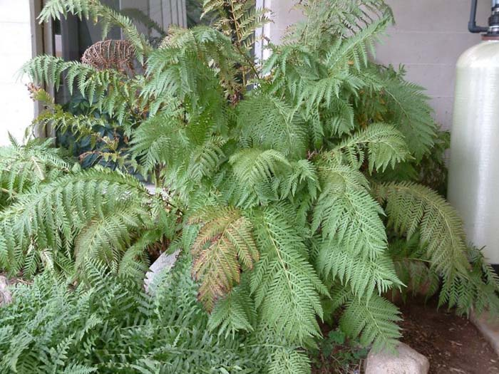 Plant photo of: Woodwardia fimbriata