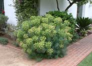 Bush or Dome Euphorbia