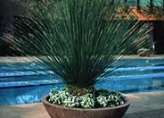 Mexican Grass Tree, Toothless Sotol