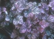 Heuchera 'Cathedral Windows'