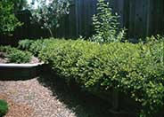 Arctostaphylos  'Emerald Carpet'