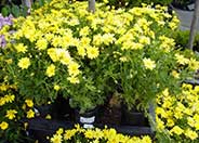 Chrysanthemum frutescens 'Dwarf Yellow'