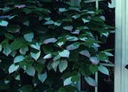 Bower or Hardy Actinidia